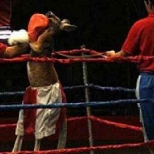 Un canguro vence en combate a tres boxeadores profesionales