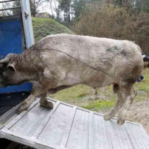 Indultan al toro de 400 kilos que se escapó y sembró el pánico en O Porriño