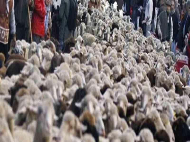Pastores y 2.000 ovejas cruzan calles de Madrid