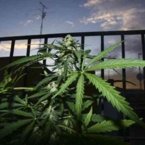 Imputados dos mayores por poner marihuana en un bizcocho casero