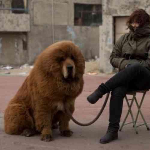 Venden un perro en China por 2 millones de dólares